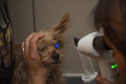 Ophtalmologie vétérinaire Lyon Examen lampe à fente