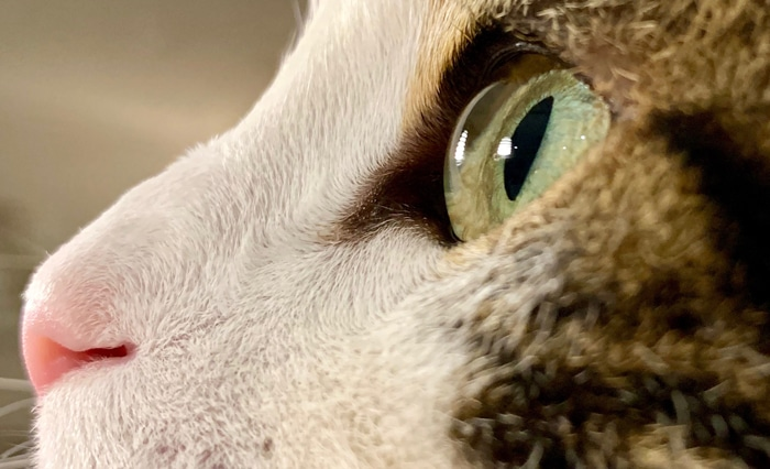 Ophtalmologie vétérinaire Lyon Oeil de chat